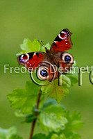 Peacock butterfly 3 (Inachis io)
