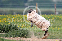 Suffolk sheep 2 (ovis aries)