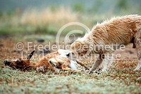 wild dog eating carrion  1