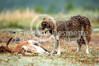 wild dog eating carrion