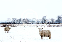 Sheep 3 (ovis aries)