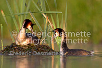 Great crested Grebe 58 (Podiceps cristatus)