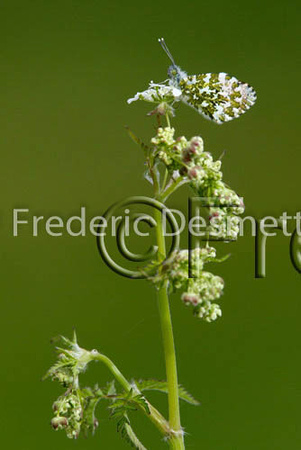 Orange tip 2 (Anthocharis cardamines)