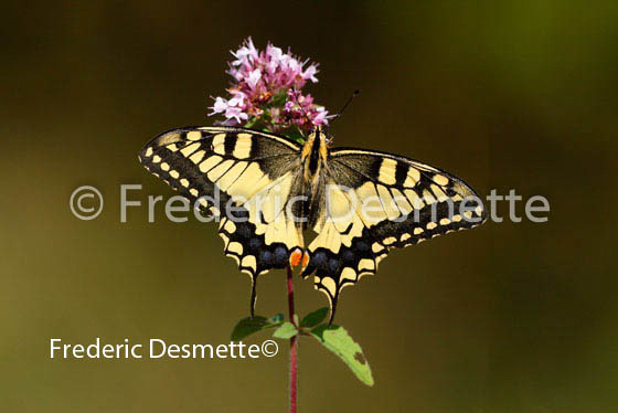 Swallowtail 1 (Papilio machaon)