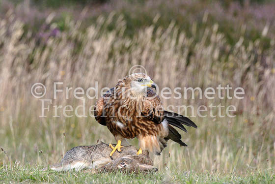 Red kite 10 (Milvus milvus)