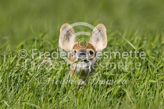 Chinese water deer 4 (Hydropotes inermis)
