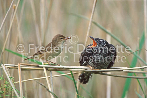 Reed warbler 14 (Acrocephalus scirpaceus)