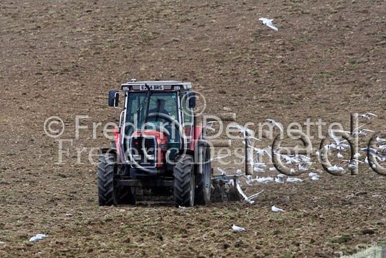Tractor and black headed gull 1
