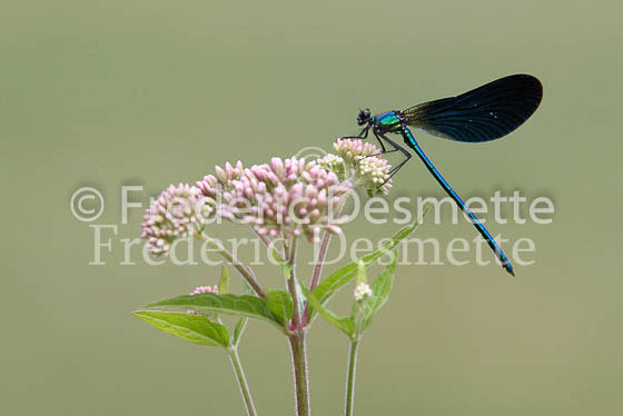 Beautiful demoiselle 1 (calopteryx virgo)