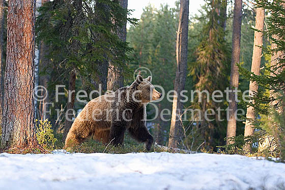 Brown bear 13 (Ursus arctor)