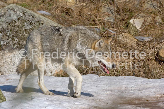 Wolf 3 (Canis Lupus)