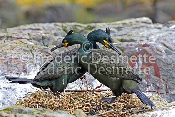 shag 13 (Phlacrocorax aristotelis)
