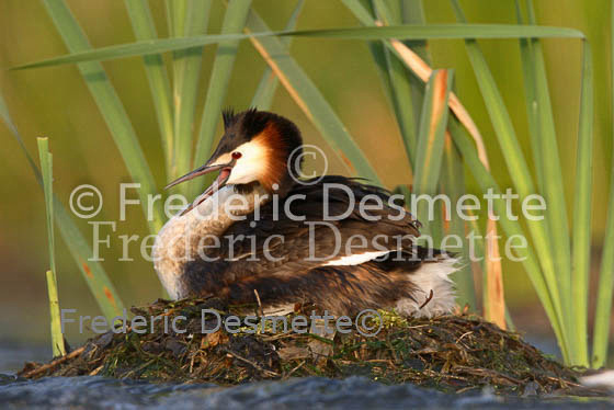 Great crested Grebe 63 (Podiceps cristatus)