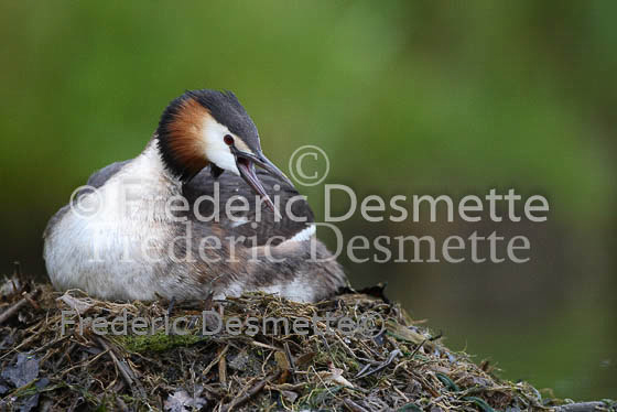 Great crested Grebe 68 (Podiceps cristatus)