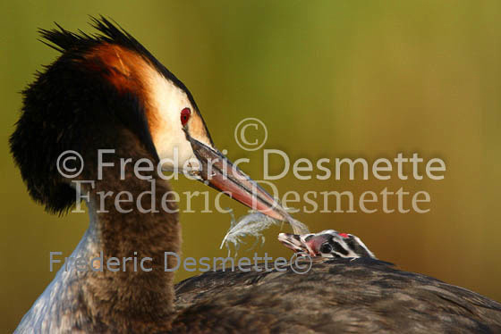 Great crested Grebe 59 (Podiceps cristatus)
