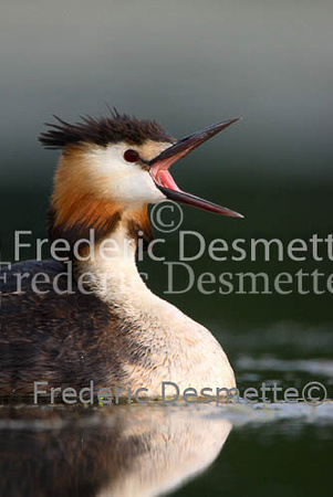 Great crested Grebe 39 (Podiceps cristatus)