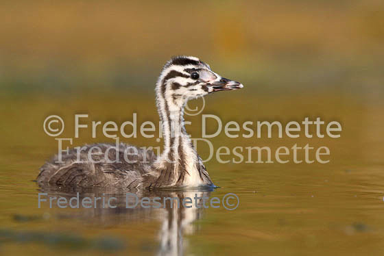 Great crested Grebe 49 (Podiceps cristatus)